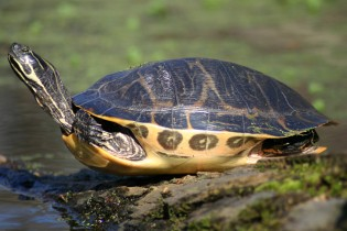 River cooter turtle Wikimedia