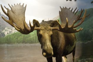 moose at WOW museum