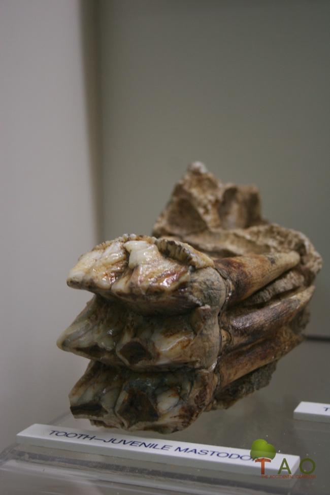 juvenile mastodon tooth