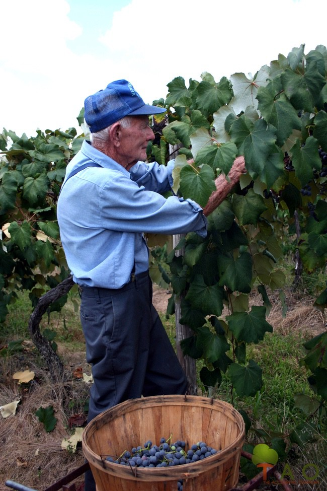 Joe Zulpo Missouri's grape harvest