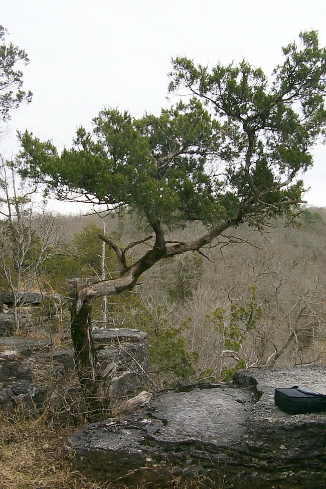 Cedar tree on Narrows Trail missouri
