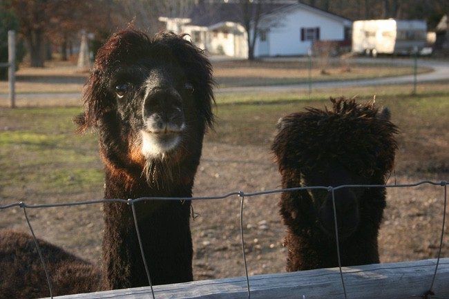 Alpacas in the Ozarks