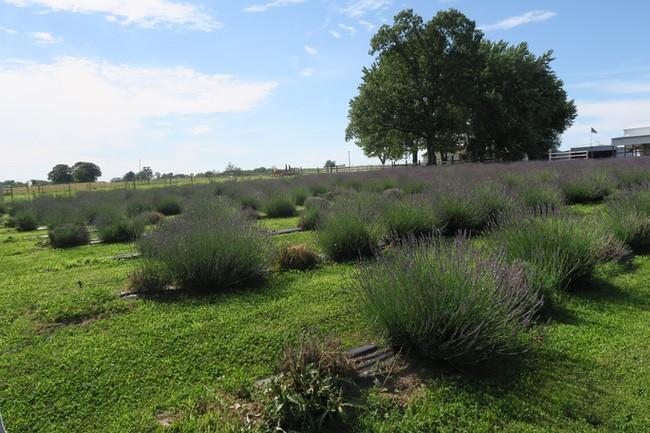 Swank Lavender Farm