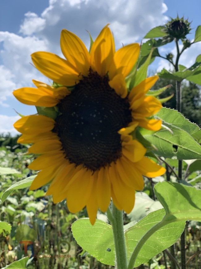 Golden Grove Farms Sunflower Festival