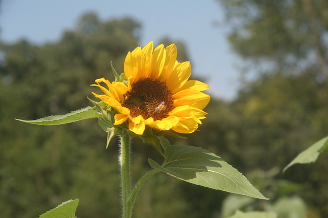 sunflower in field at Golden Grove Farms