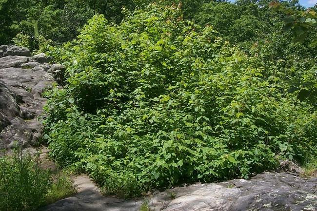 Poison ivy bush Lane Spring